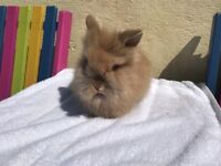 Lionhead rabbits 8 weeks old, 2 available....see photos