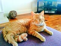 JINXY GINGER MALE CAT MISSING FROM WARINGSTOWN