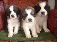 top quality rough coated saint Bernard puppies