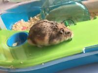 Dwarf Hamster (w/ cage & accessories)