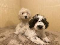 Ronnie and reggie looking for new home puppys