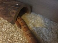 2 year old Corn Snake -Male with accessories