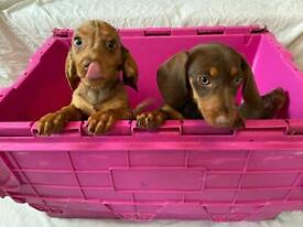 Miniature Dachshund pups READY NOW