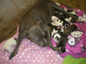 hi i have one blue brindle staffy puppy for sale