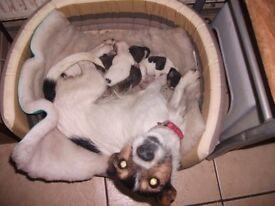 Jackowhat Puppies
