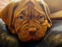 7 Beautiful Dogue De Bordeaux puppies