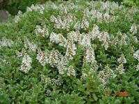 Hebe Pingufolia evergreen hardy plants all proceeds to WILD HEDGEHOG charity
