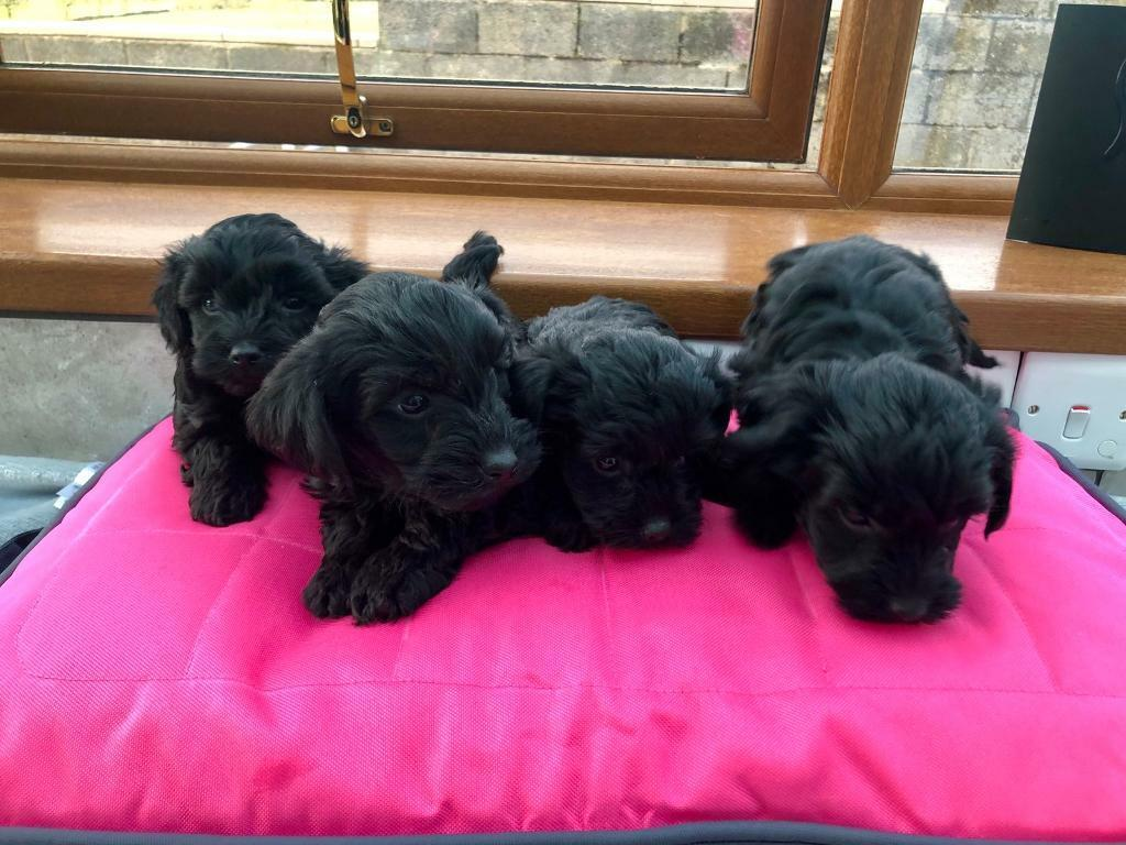 Yorkie x Poodle puppies for sale | in Kidwelly, Carmarthenshire | Gumtree