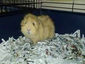 Mum and baby guinea pigs £15 each.