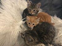 Beautiful kittens, ready now