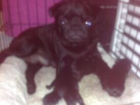 Pugapoo, toy poodle x pug puppy