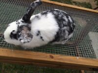 Black and White Mini Lop X Rabbit
