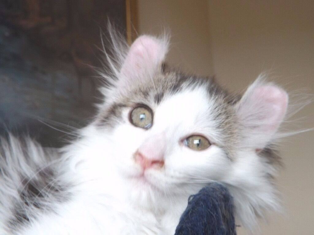 American Curl kitties for sale in Newcastle Tyne and Wear