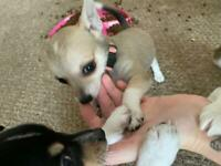 All sold Chihuahua puppy