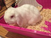 Mini loop bunny, male, 8 months old, with cage and accessories