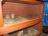 TWO MALE AND TWO FEMALE GUINEA PIGS FOR SALE PLUS TWO, TWO STOREY HUTCHES FOR SALE