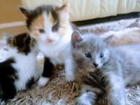 Fluffy Grey,Ginger and tabby kittens ❤️🐱❤️