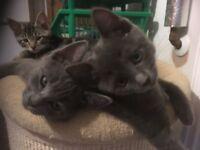 Ragdoll Cross Kittens Ready Now