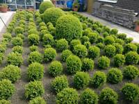 "Box ball plants approx 250-300mm (10-12"") high"