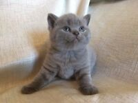 Stunning British Blue Shorthaired GCCF Kittens for sale