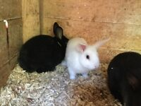 Baby rabbits and guinea pigs for sale