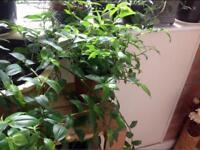 Tradescantia fluminensis plant