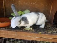 Male rabbit looking for good home