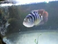 Red terror cichlid to home asap