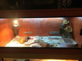 Bearded dragons and setups