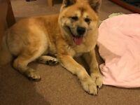 Tan large dog found LS12