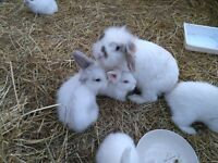 Six lovely white baby rabbits need to go to good home