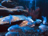 REC Pacu piranha Tropical fish tank aquarium