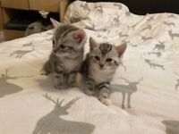 3 beautiful Bengal cross silver tabby kittens ready for forever homes