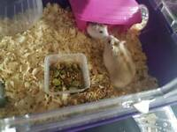 Dwarf hamsters with cage for sale