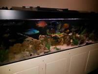 7ft x 2f Aquarium (fish Tank) complete set-up inc 40+ fish