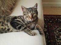 Missing Cat Huge Reward!!!