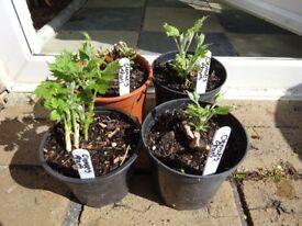 Clematis Stans plants 1 litre pots £3 each