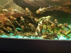 Bristlenose Pleco Various sizes available from just £2.50 to £12