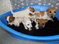 JACK RUSSELL PUPPIES READY 26TH SEPTEMBER 3 BOYS 1 GIRL