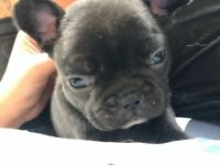 Uniquely coloured quality Kc registered frenchie puppies
