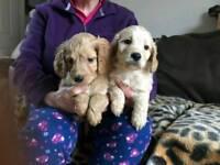 Cockerpoo pups