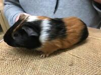4 baby Male Guineas pigs