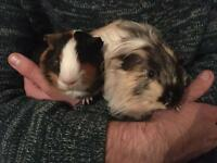 2 male Guinea Pigs, two-tier cage and supplies