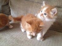 3 female long haired kittens