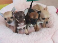 Pedigree Teacup Chihuahua Puppies For Sale (3 Boys 1 Girl) Ready To Leave Their Mummy On 9th Augustl