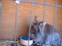 2 female norweign lion head rabbits