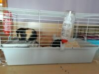 3 guinea pigs with cage