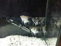 6 angle fish with tank and unit for sale