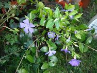 Vinca minor or periwinkle plants with blue flowers in a 13 cm square plastic pot
