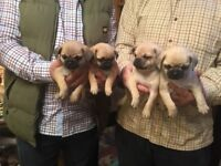 CHIHUAHUA X PUG PUPPIES ( Chugs )